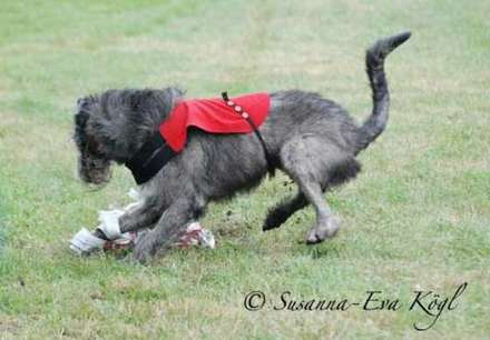 Irish Wolfhound von Margot R. Dimi bei der Coursing EM in Oirschot/NL, 2011